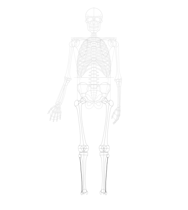 fibula length