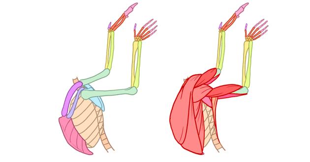 winged human angel anatomy side