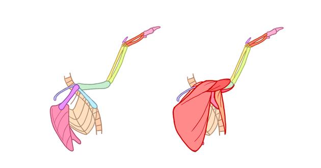 bird muscles side