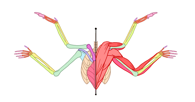 winged human angel anatomy front