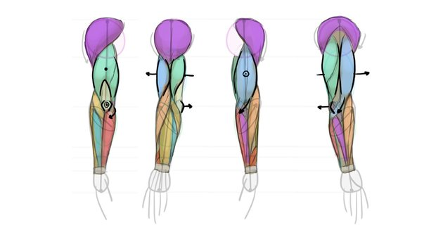 how to draw biceps triceps