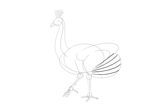 peacock wing primaries