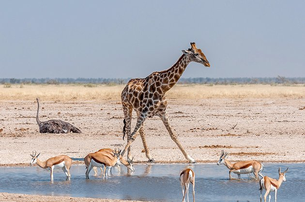 Giraffe and springboks at a waterhole in Northern Namibia