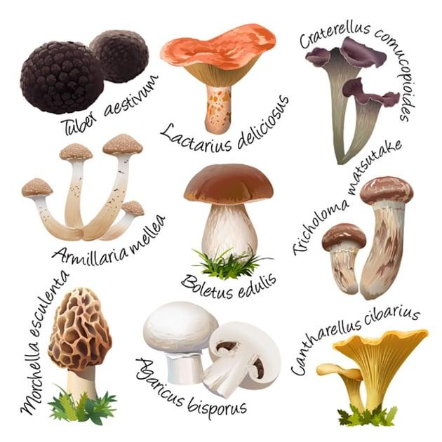 Botanical Mushroom Illustration