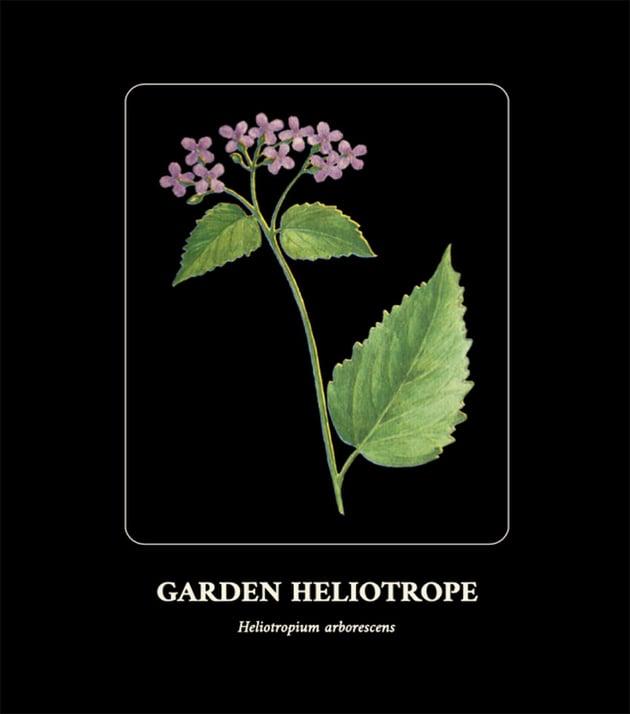 Botanical Flower Illustration