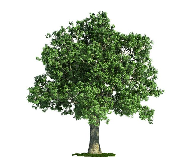 Isolated Tree on White Oak Quercus