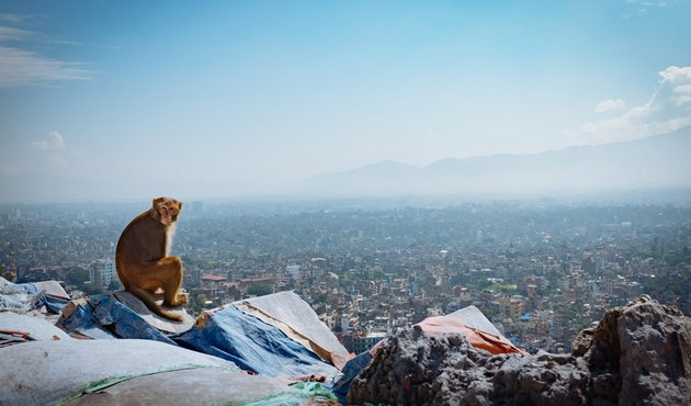 macaque in kathmandu