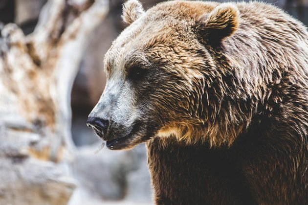 Photograph of a brown bear