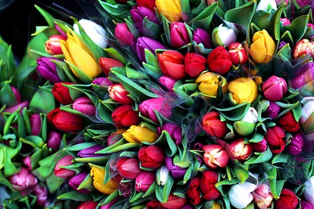Colorful Tulip Flowers