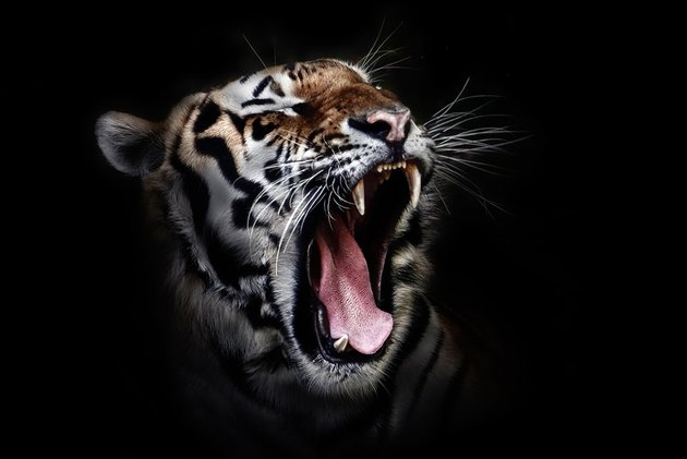 Pixabay Tiger stock