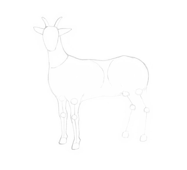 Drawing the fore limbs of the goat
