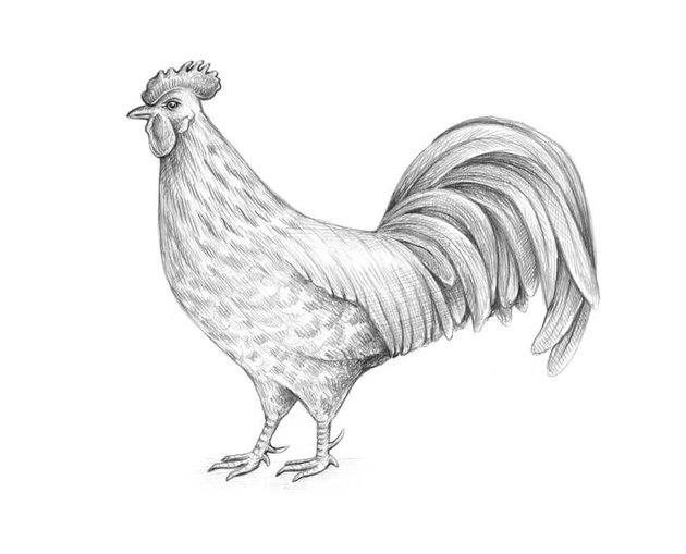 Completing the drawing of the rooster