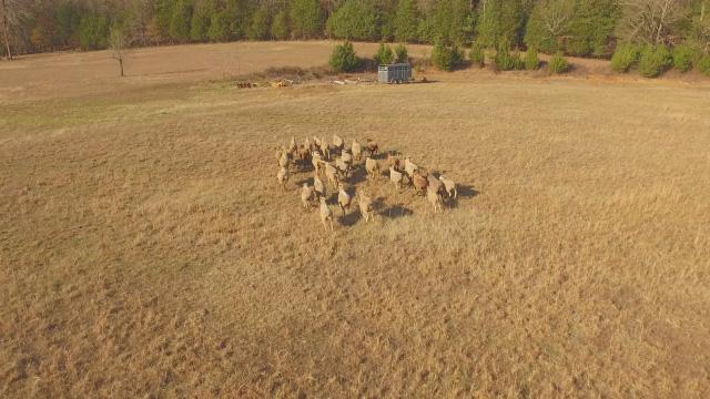 A herd of bovine in a dry field
