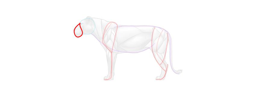 lion snout simplified