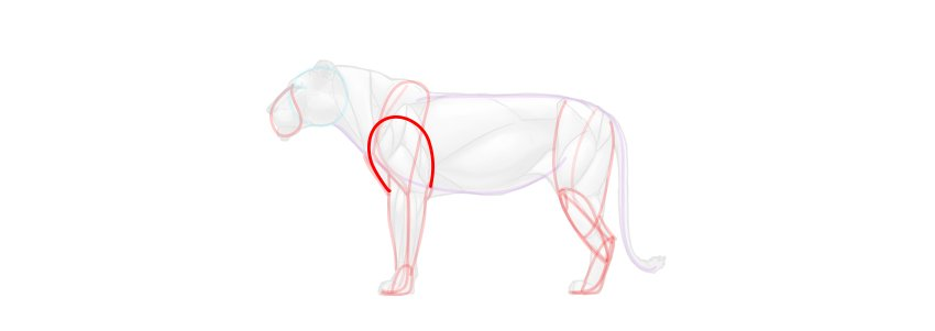lion shoulder muscles simplified