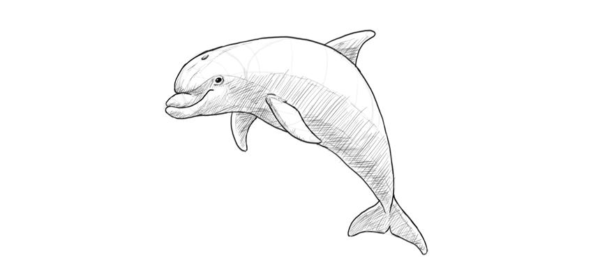 dolphin cross hatch shading