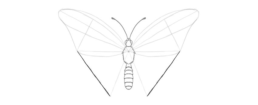 butterfly lower wing width