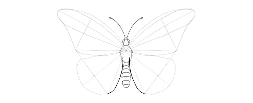 butterfly lower wing costal margin