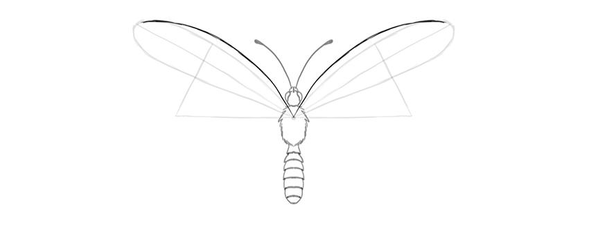 butterfly upper wing costal margin