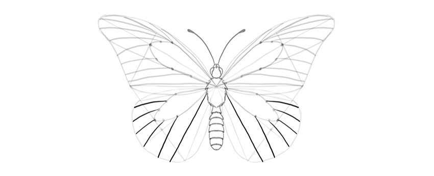 butterfly lower wing veins