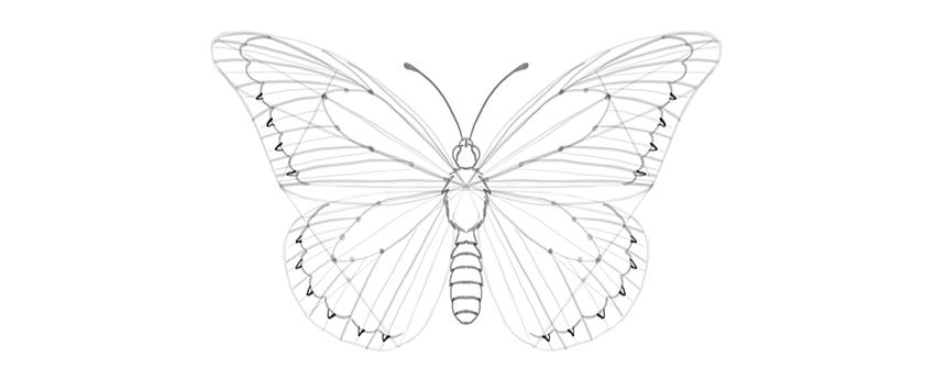 butterfly wing outer margin ragged inside