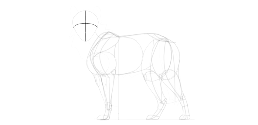 wolf drawing head proportions