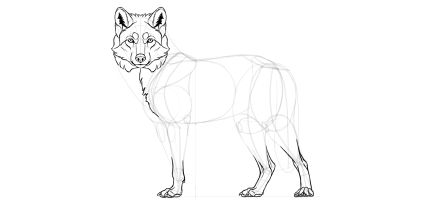 wolf drawing neck perspective