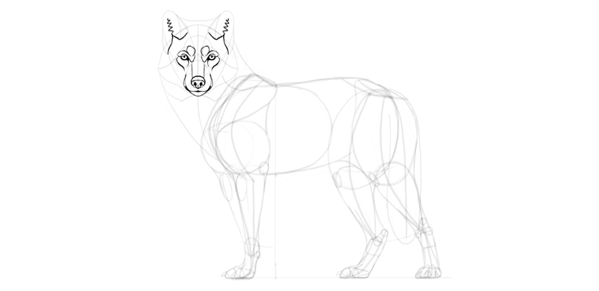 wolf drawing ears details