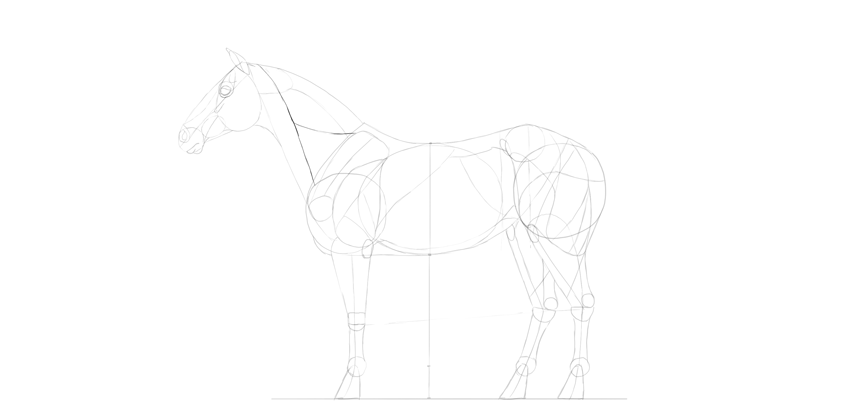 horse drawing neck muscle advanced
