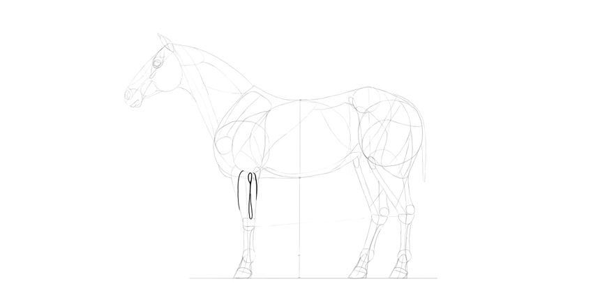 horse drawing forearm muscles