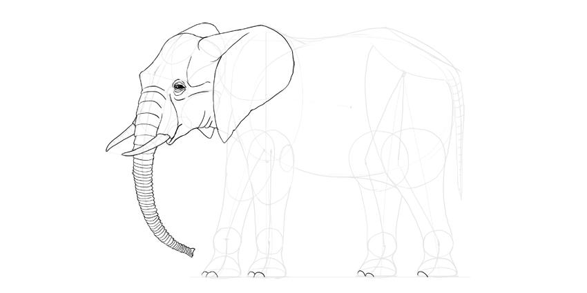 elephant toenails