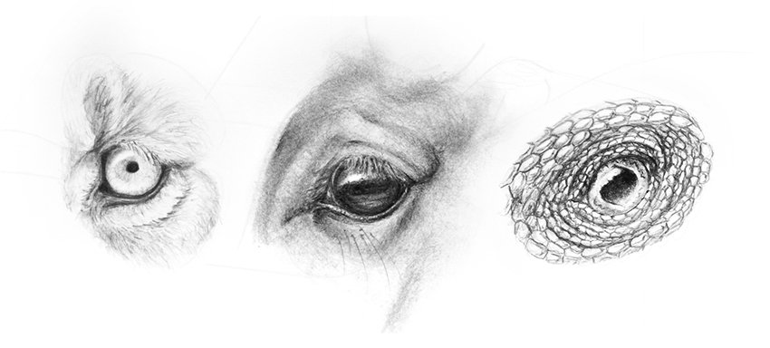 how to draw realistic animal eyes