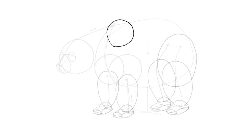 bear drawing shoulder hump