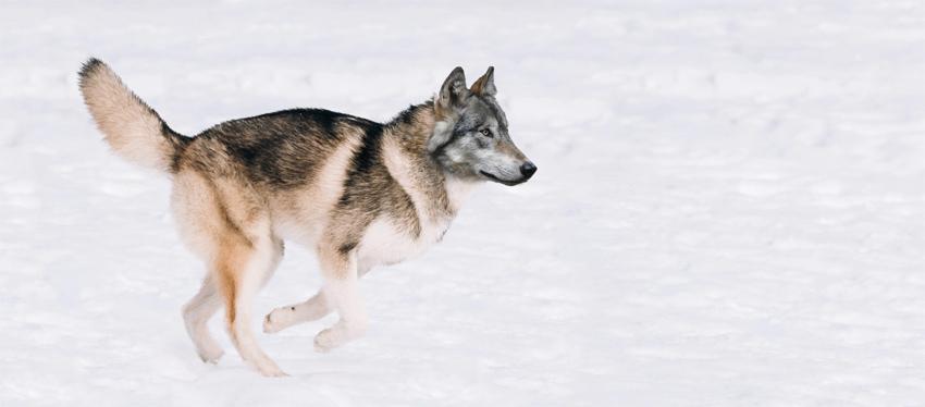 husky to wolf manipulation