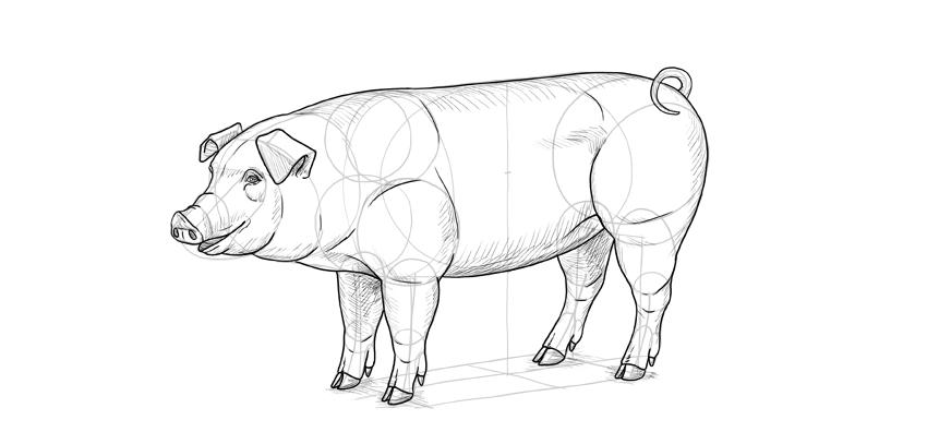 shade a pig