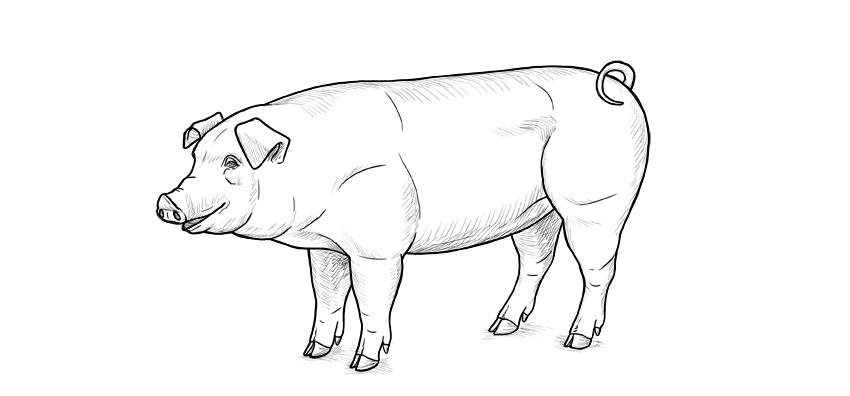 finish pig drawing