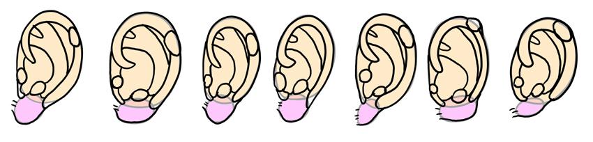 various ear shapes