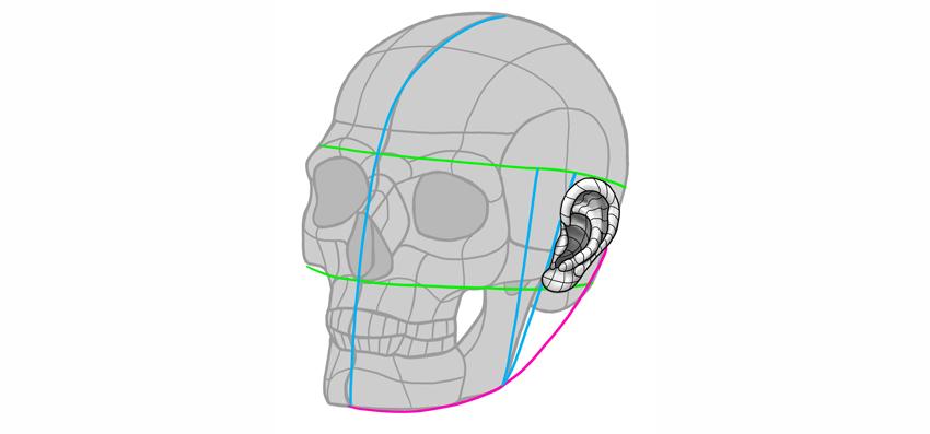 ear position on skull