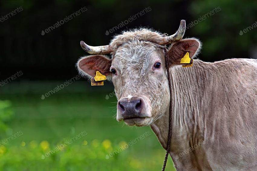 cow photos stock