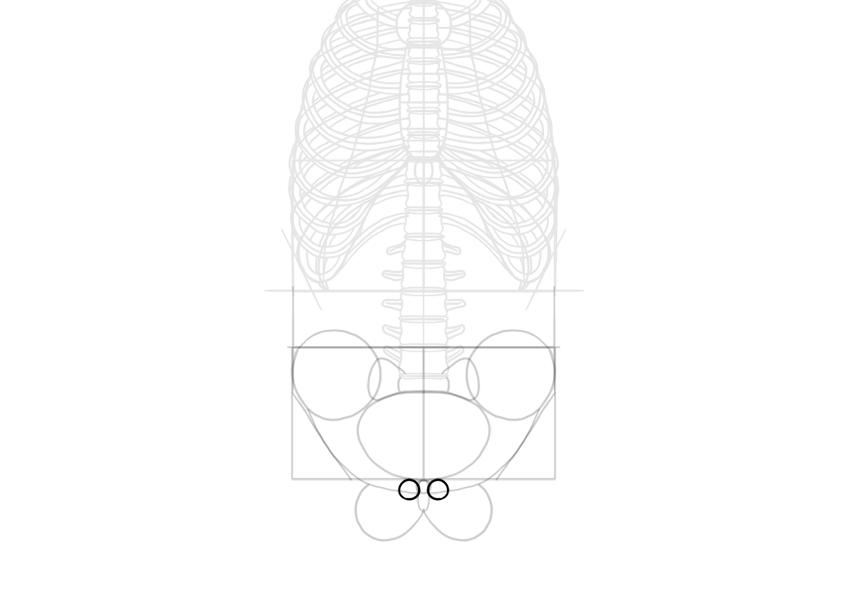 simplified pubic crest