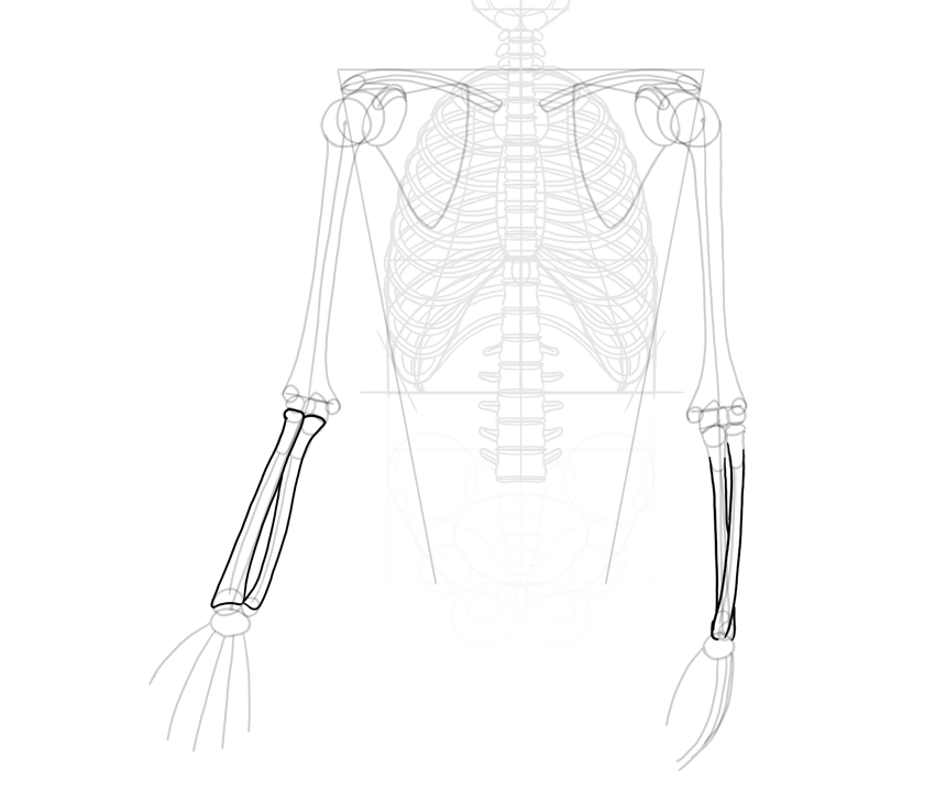 radius and ulna outlined