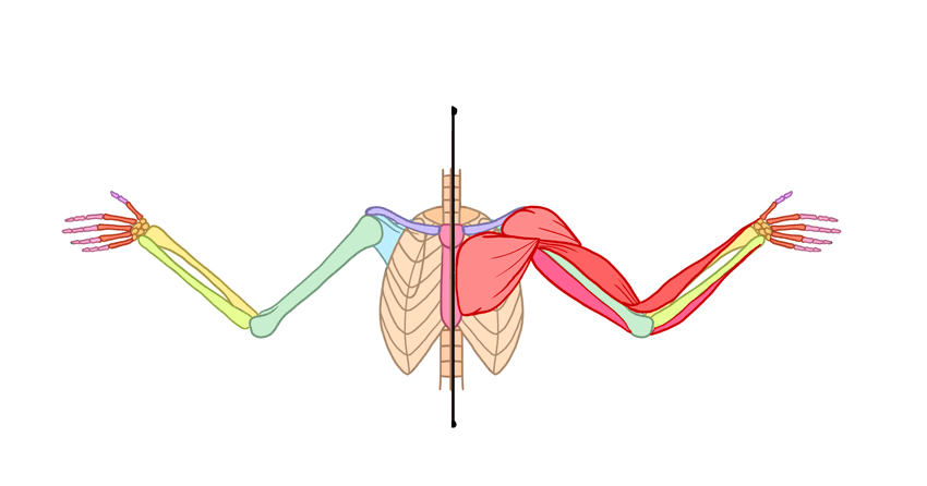human arm breast muscles front