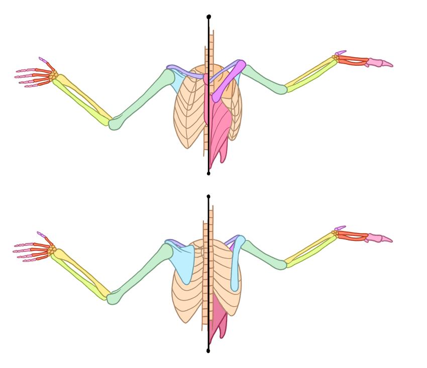 human bird arm wing comparison