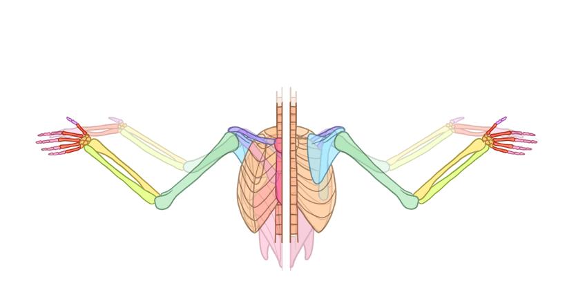 human wing anatomy