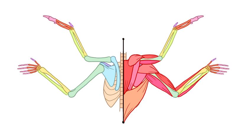 winged human angel anatomy back