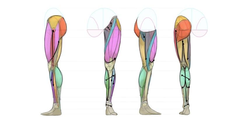 leg anatomy details