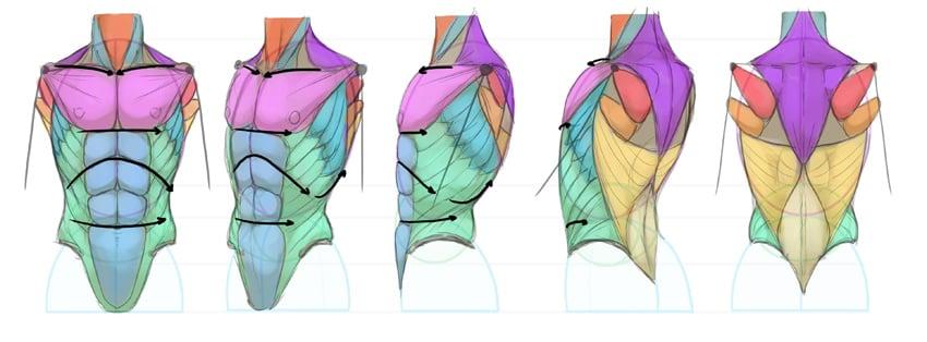 torso proportions