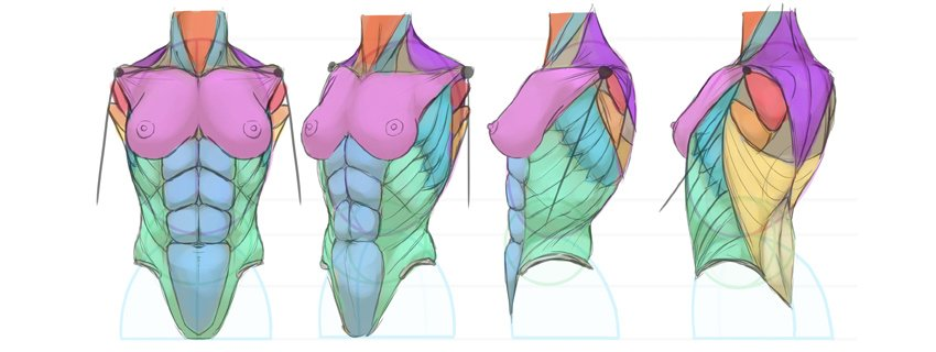 breasts anatomy