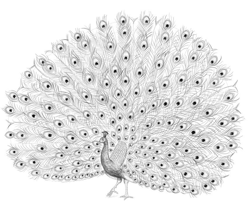 peacock special feathers