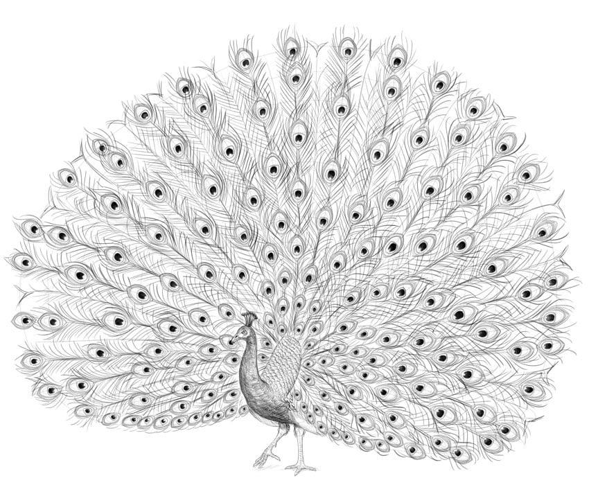 peacock bigger shafts